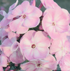 Summer Phlox 'Younique Old Pink' (Phlox paniculate)