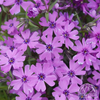 Phlox subulata Purple Beauty (Moss Phlox)