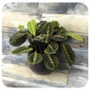 Prayer Plant - Red (Maranta leuconeura)