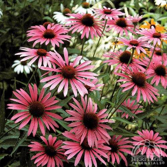 Purple Coneflower 'Ruby Star'  (Echinacea purpurea)