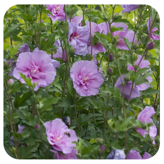 Rose of Sharon 'Lavender Chiffon' by Proven Winners