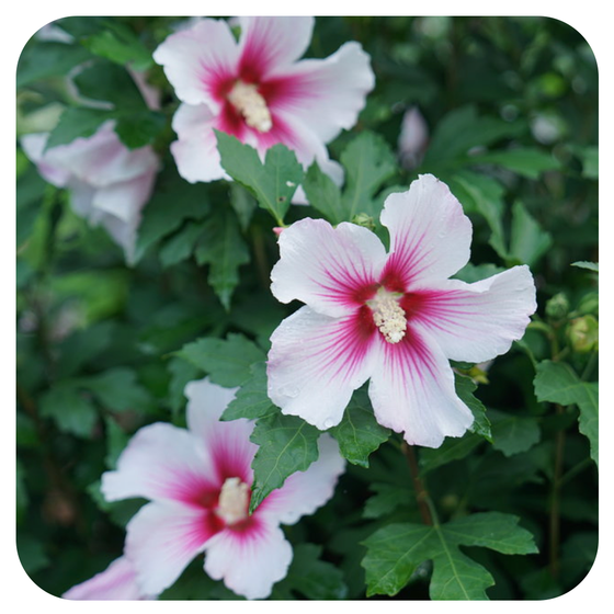 Rose of Sharon 'Paraplu Pink Ink' by Proven Winners