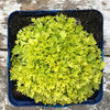 Saxifraga 'Cloth of Gold' (Mossy Saxifrage)