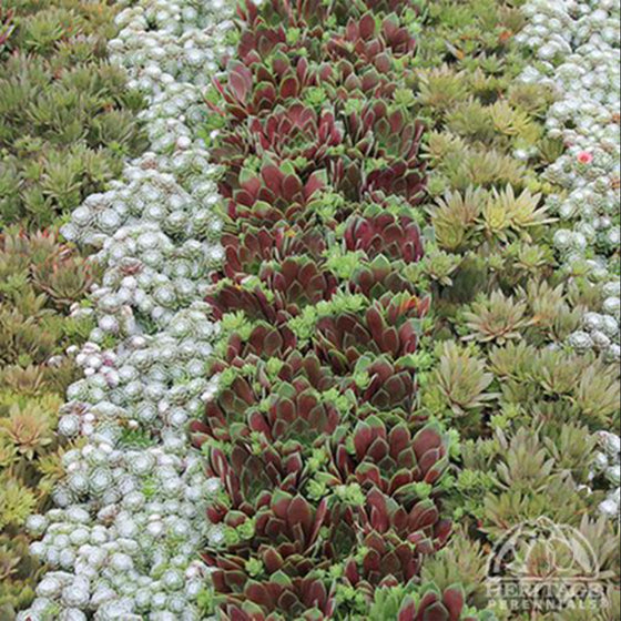 Sempervivum Hybrids Medley (Hens and Chicks)