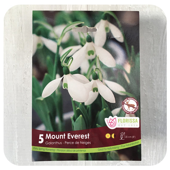 Snowdrops 'Mount  Everest Single' (Galanthus)