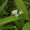 Starry False Solomon's Seal (Maianthemum stellatum) NATIVE PERENNIAL