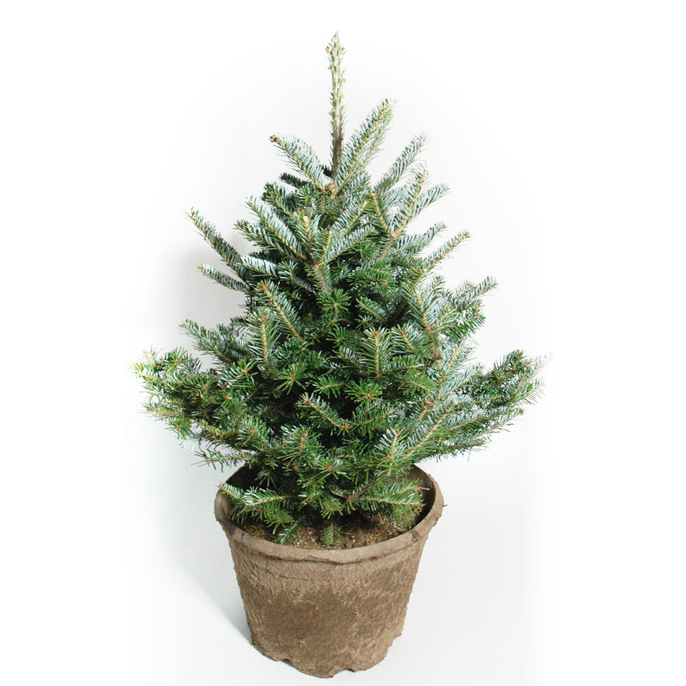 Potted Christmas Tree.Potted Fraser Fir