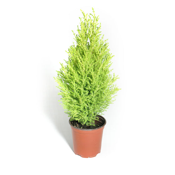 Goldcrest Cypress (also known as lemon cypress)