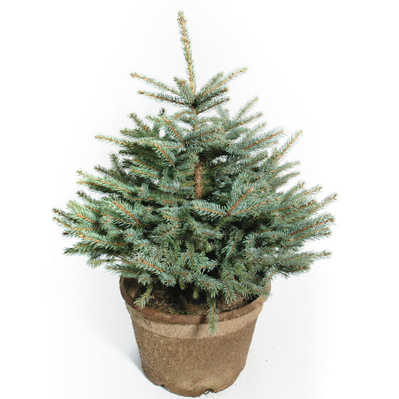 Potted Colorado Blue Spruce