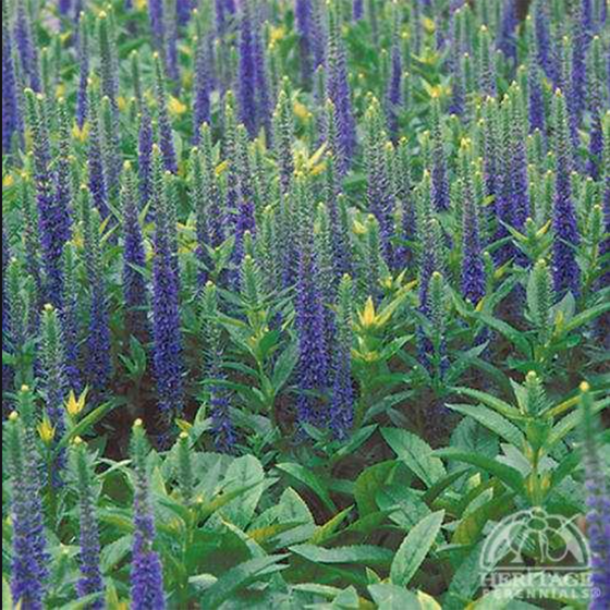 Veronica spiccata 'Royal Candles'