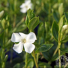 White Periwinkle (Vinca minor alba)