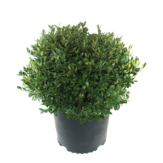 Boxwood Green Velvet (Buxus Green Velvet)