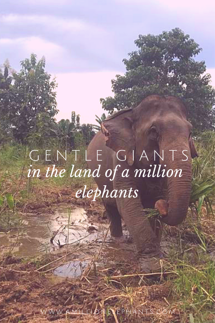"Gentle Giants in What was Once Called ""Land of a Million Elephants"""