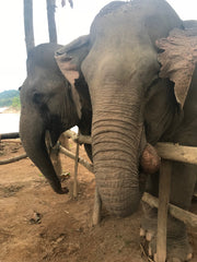 elephants at MandaLao in Laos