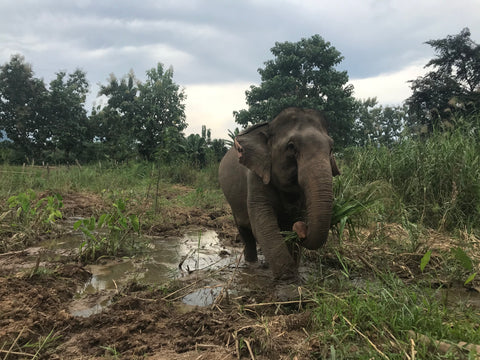 Asian Elephant in Laos