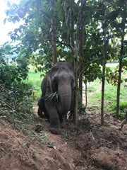 Trekking with Elephants in Laos