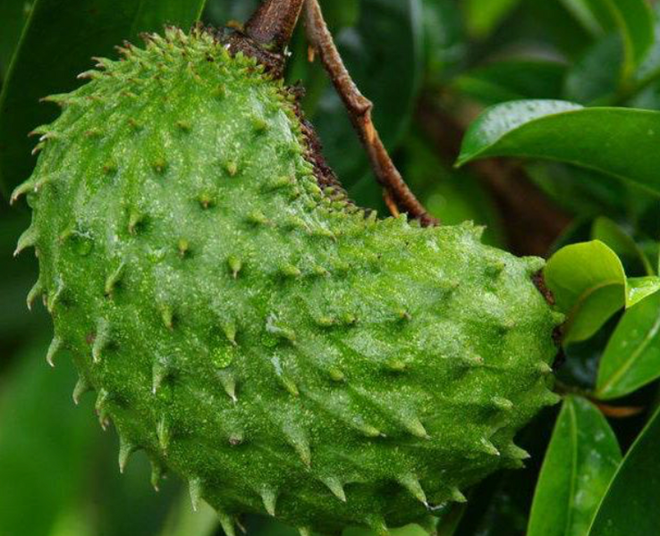 Soursop: The Need To Know Guide