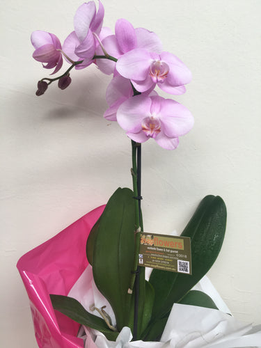 CARIZMA - potted Flowering Orchid in a gift box