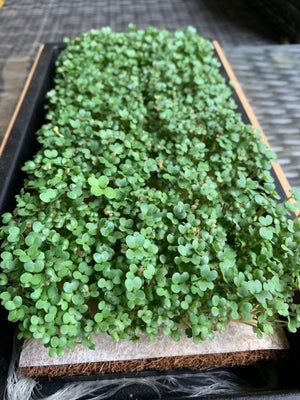 Diary of a Hot Wasabi Mustard Microgreen! 🔥🌱