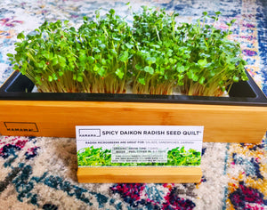 Diary of a Spicy Daikon Radish Microgreen!