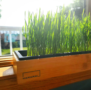 The Medical Use of Wheatgrass