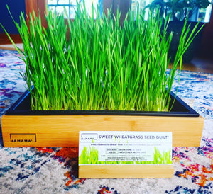 Diary of a Sweet Wheatgrass Microgreen!
