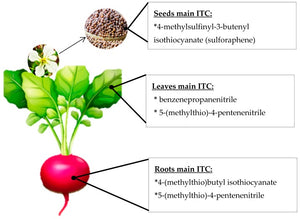 Functional Ingredients From Brassicaceae Species: Overview and Perspectives