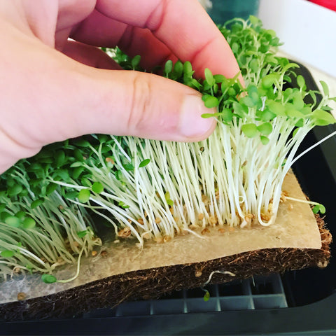Close up of fully grown clover microgreens in a grow tray showing the Seed Quilt and roots.