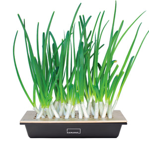 Green Onion Kit - Case of 20 - Flash Sale!