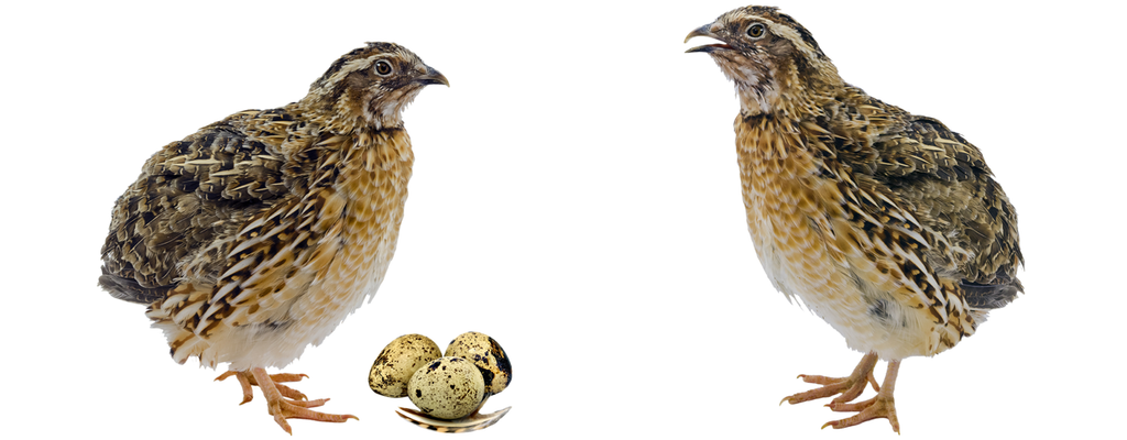 Which Quail food is best for feeding my young Quail and older breeding Quail?