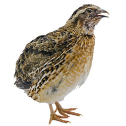 High Quality Live Quail (Falcon Food)