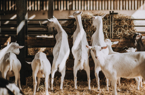goat herd in shed