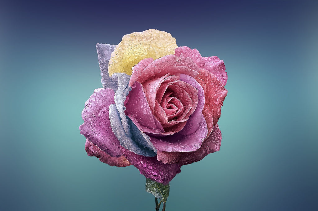 A beautiful rose with purple, pink and yellow leaves.