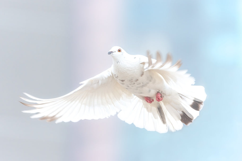 Dove flying in the symbol of freedom