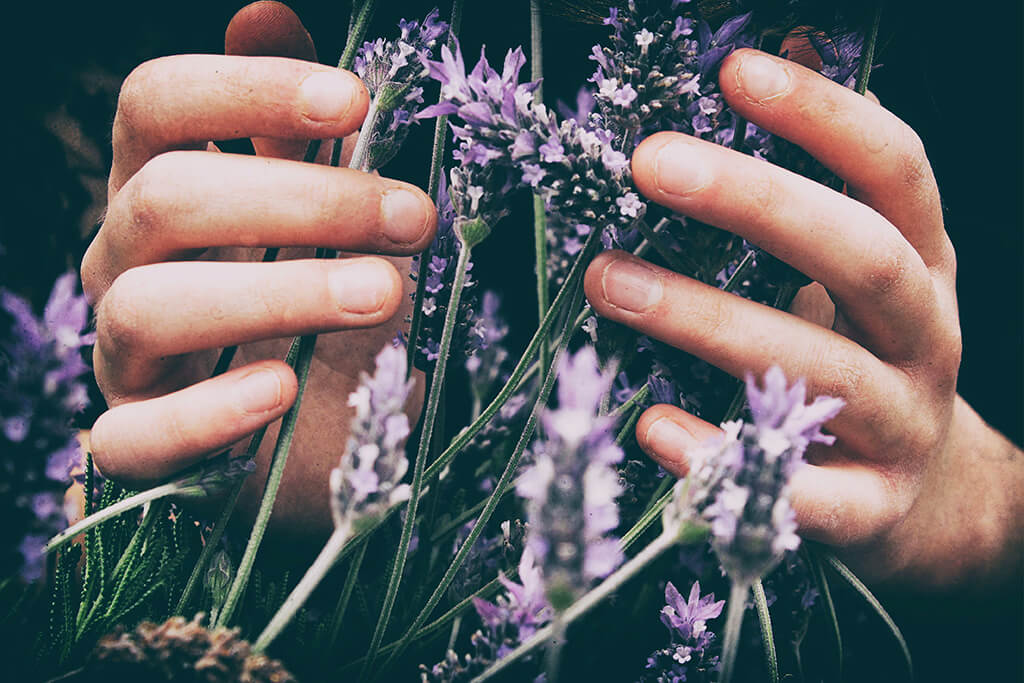 Raw Lavender in Hand