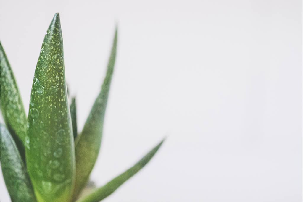 smooth aloe leaves used for making aloe juice