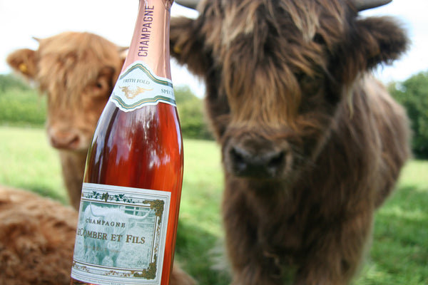 young highland cows and a bottle of champagne