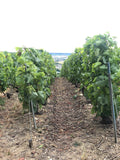 A picture of a vineyard by the Abbaye Saint-Pierre d'Hautvillers which boosts healthy, large and delightfully ripening grapes