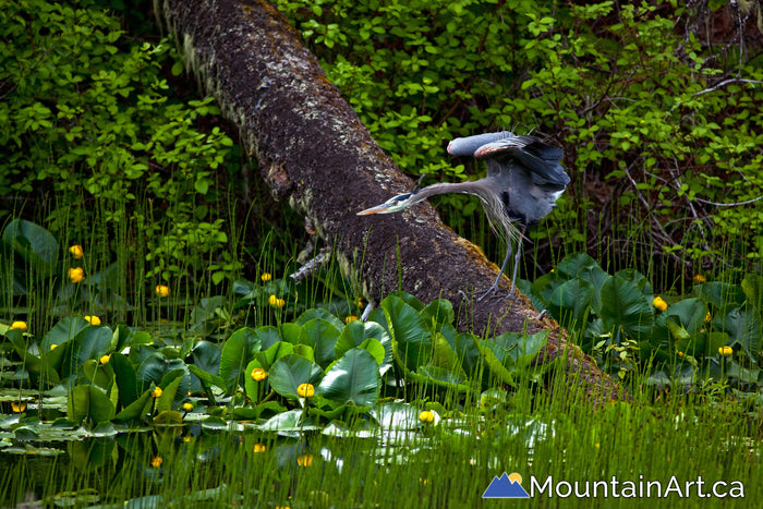 blue heron spreading wings in lush wetland with lily pads