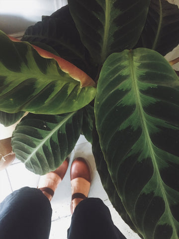 Plant Notes | Calathea