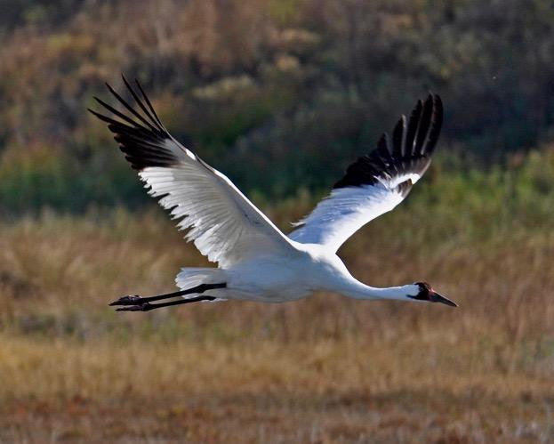 Whooping Crane Tour in Rockport, TX