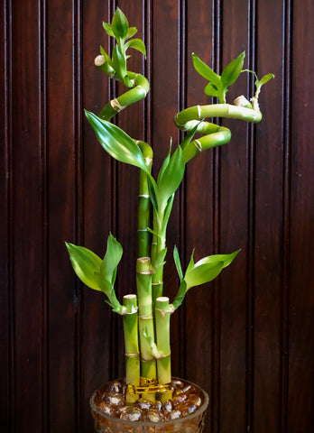 Lucky Bamboo, Feng Shui, Good Luck Symbol, The Botanical Journey