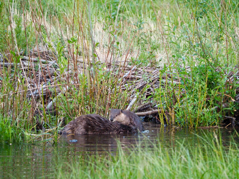 American Beavers, Great Sand Dunes National Park