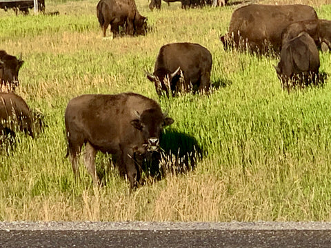Bison, Buffalo at Yellowstone National Parks
