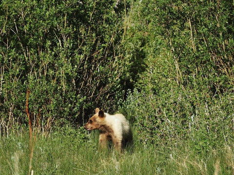 Brown Bear, Great Sand Dunes National Monument