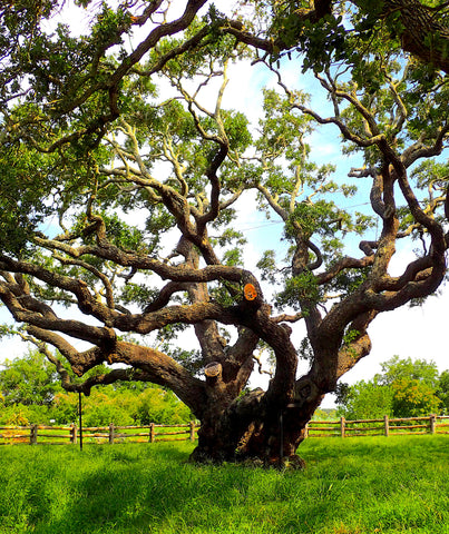 The Big Tree is a coastal live oak, Quercus virginiana, Goose Island Oak Tree, The Botanical Journey