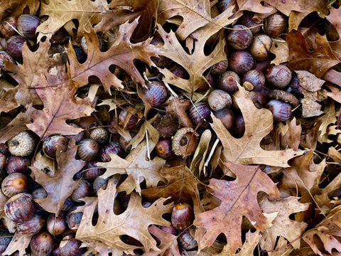 Oaks & Acorns, Mast Year, Oak Nuts, The Botanical Journey