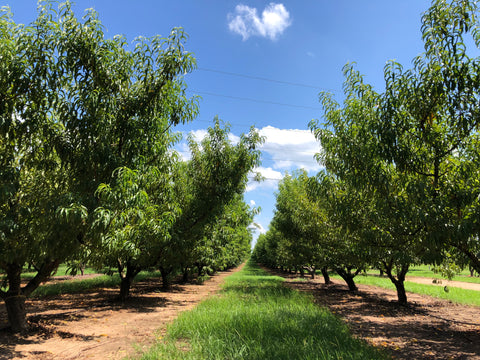 Peach Orchard in Peach County Georgia, The Botanical Journey