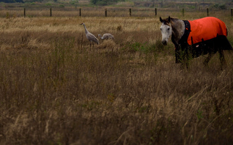 Sandhill Cranes and a horse, The Botanical Journey, Christmas Bird Count, CBC, 118