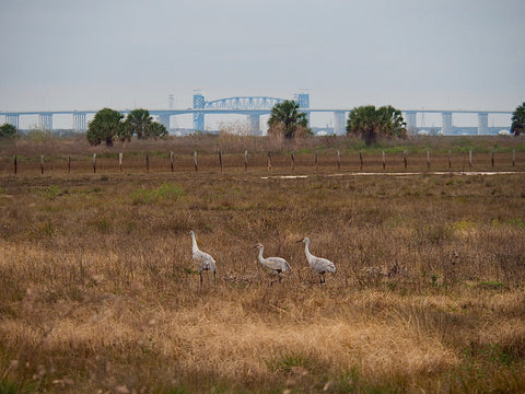 Sandhill Cranes, Galveston Island Birding, The Botanical Journey